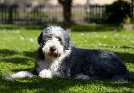 Cute dog, bearded collie, hairy and thoughtful on the lawn