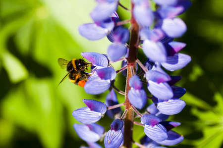lupins: Bumblebee on violet lupins looking for something tasty