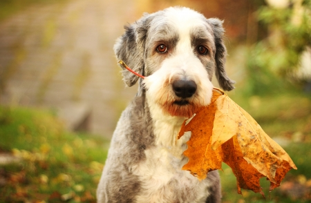 Bearded collie with a maple leaf in his mouth