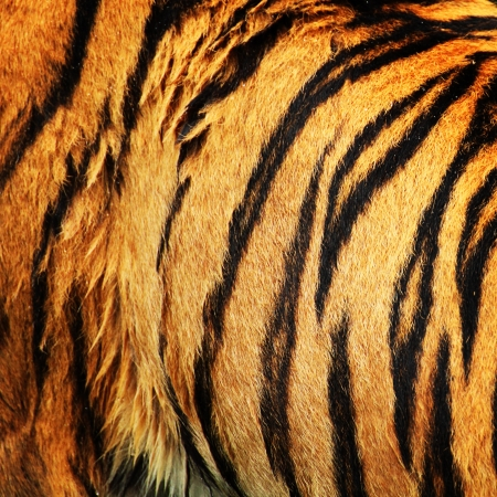 Fur of a tiger with stripes