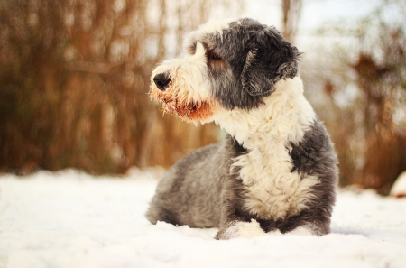 Bearded Collie lying in the snow in winter photo