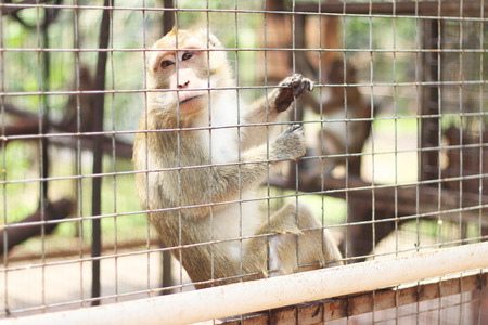 caged: Caged Monkey looking out, Long Tailed Macaque
