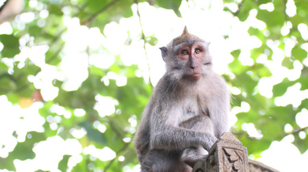 geen: Long Tailed Macaque monkey, with geen laves in background