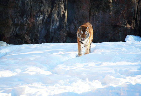 Tiger in the snow in the winter Stock Photo