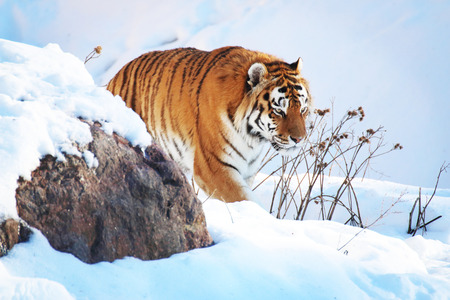 Tiger in the snow in the winter photo