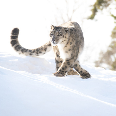 snow leopard: Snow leopard in the winter looking focused