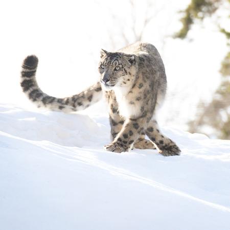 irbis: Snow leopard in the winter looking focused