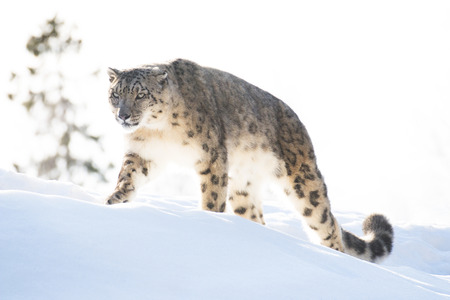 leopard: Snow leopard in the winter looking focused