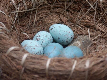 blue speckled eggs in nest basket photo