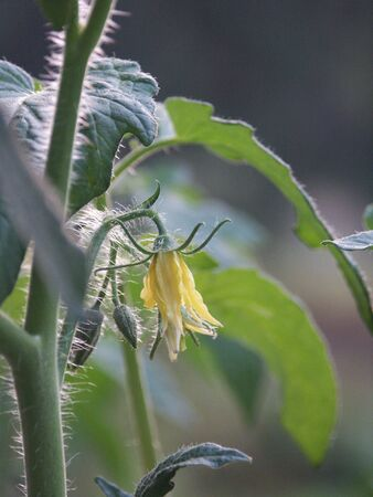 tomato blossom on the plant photo