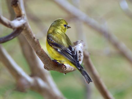 American Goldfinch female Carduelis tristis photo