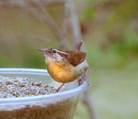 birdwatching: Bewicks Wren (Thryomanes bewickii) Stock Photo
