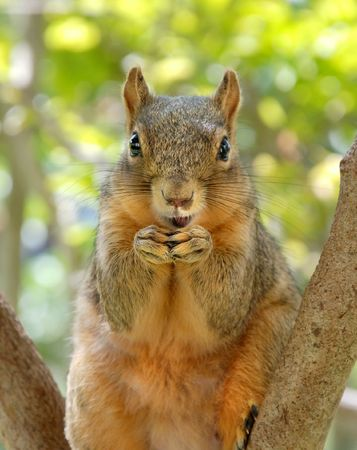 Funny smiling red squirrel photo
