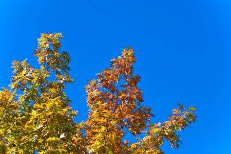 Oak Tree in Fall Colors