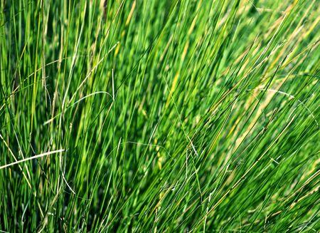 fescue: Closeup of Grass Stock Photo