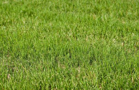 fescue: Green Lawn