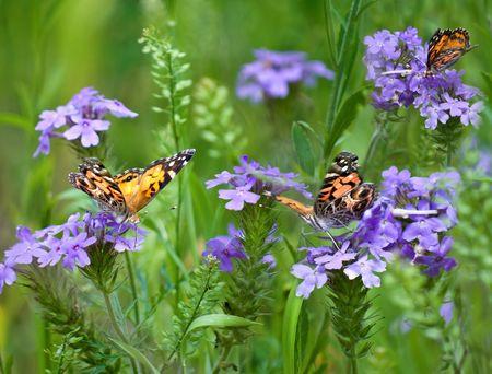 Three Painted Lady butterflies in a field of wild verbena (Verbena bipinnatifida) Stock Photo