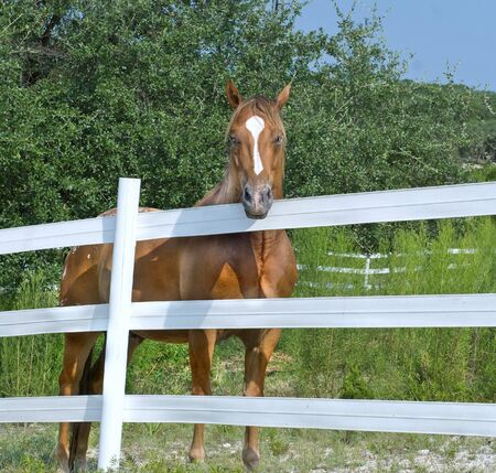 Chestnut horse on a ranch or farm behind a white fence