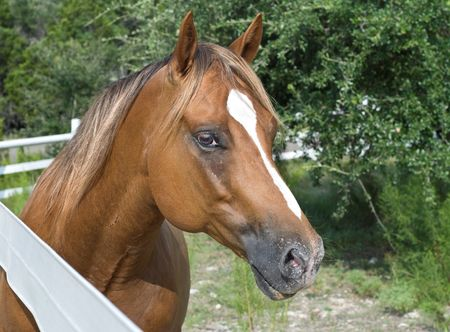 Beautiful chestnut horse behind a white fence