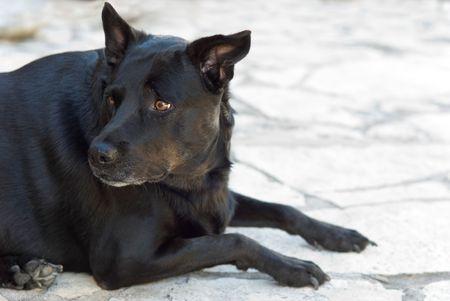 apprehensive: Black Dog Labrador Retriever Mix Looks Scared or Apprehensive Stock Photo