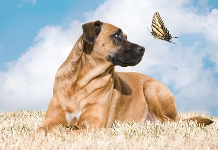 Beautiful dog looks up at a tiger swallowtail butterfly