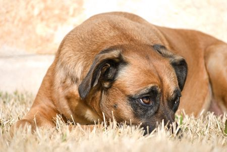 Dog with head down and a sheepish expression with raised eyebrow Stock Photo