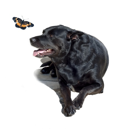 curiously: Black Lab mix looking curiously up at a butterfly, isolated on white