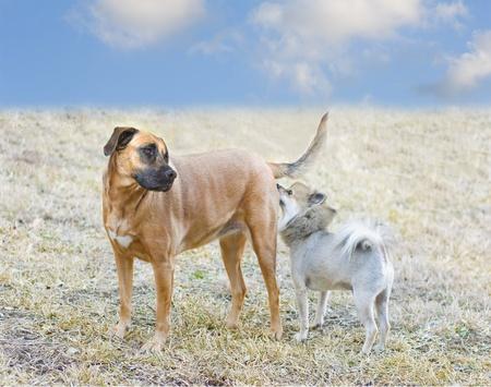 Petite Poméranie en reniflant butt un plus gros chien Banque d'images - 8874763