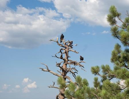 roosting: Turkey Vultures