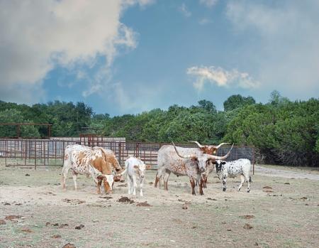 longhorn cattle: Longhorn pastoreo de ganado en un rancho Foto de archivo