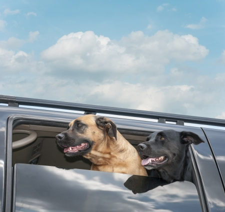 Two happy dogs riding in a car with heads out the window