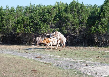 sexual intercourse: Longhorn cattle in the act of mating Stock Photo