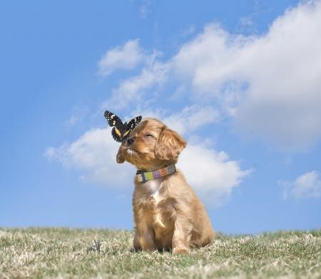 Schattige Cavalier King Charles Spaniel puppy met een vlinder landing op zijn neus