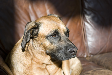 Beautiful dog seated on a leather sofa Stock Photo