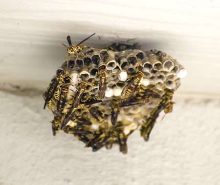 Yellow jackets building a nest on the wall of a house Stock Photo