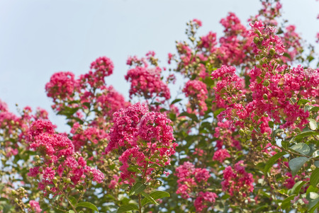Beautiful deep pink flowers on a crape myrtle tree (Lagerstroemia) Stock Photo