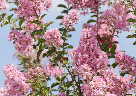 Beautiful pink flowers on a crape myrtle tree (Lagerstroemia) Stock Photo