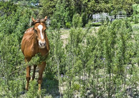 Chestnut horse galloping on a ranch Stock Photo
