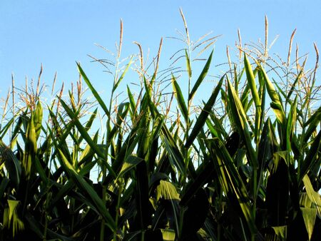 A cloes-up of a corn field.