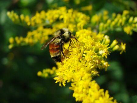 Bumble Bee 版權商用圖片