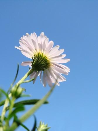 White Daisy Stock Photo - 10425275