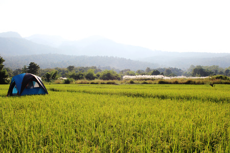 Rice field in Thailand background