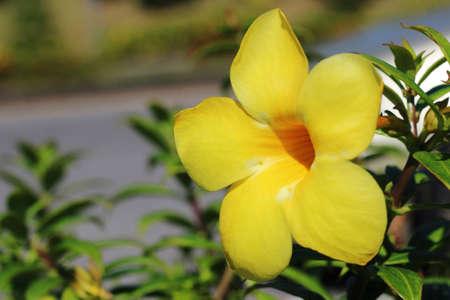 Yellow flower Thailand background.