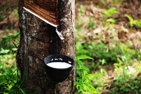 Rubber tree of Thailand background.