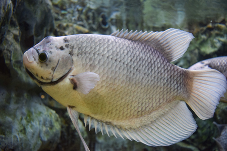 Freshwater fish in aquarium Stock Photo