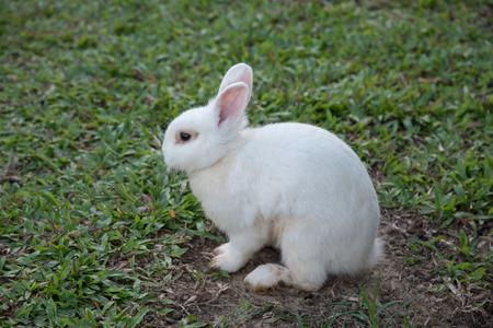rabbit standing: White Rabbit standing in the garden Stock Photo