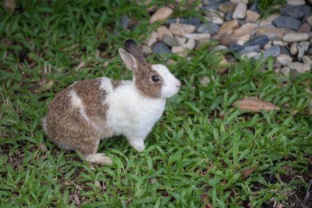 rabbit standing: Brown and White Rabbit standing in the garden Stock Photo
