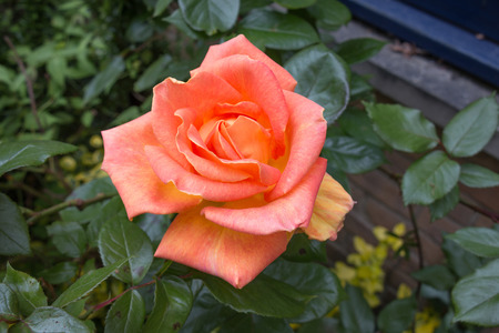 orange rose: The Blooming Orange Rose