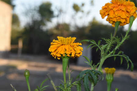 Beautiful marigold flower scene in a garden