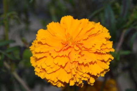 Beautiful marigold flower scene in a garden